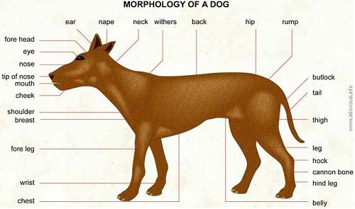 Название частей тела собаки на английском