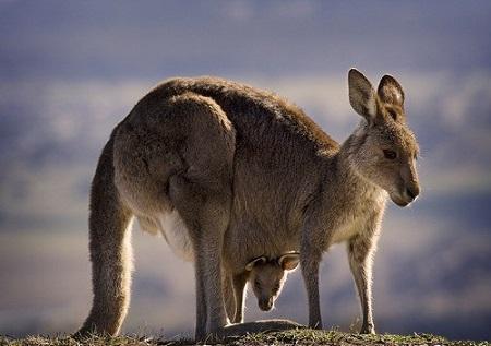 Кенгуру и кенгурёнок