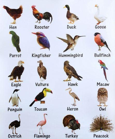 Виды птиц на английском